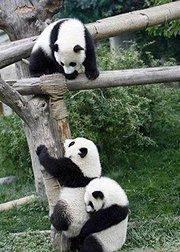 大熊猫搞笑合集