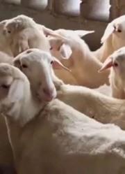 小羊意外走丢,看食尚猎人怎么帮它找到羊妈妈