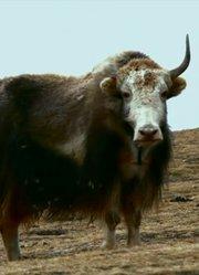 高原牦牛文化展