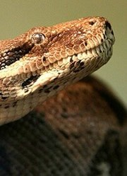 超级食人蛇