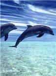 鲨鱼湾的海豚