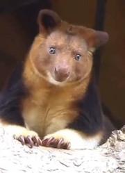 保护区迎接稀有新生树袋鼠宝宝《国家地理》杂志