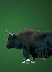 牦牛有多少种用法