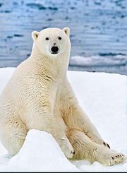 北极熊生存之道