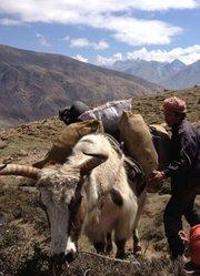 西藏微记录——珠峰脚下的牦牛