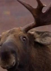 驼鹿的秘密