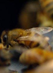 蜜蜂的秘密生活