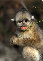 中国金丝猴