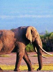 大象暹罗的一生