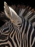 数学能解释动物为什么会有条纹吗?