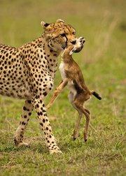 动物猎食也疯狂