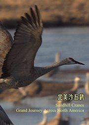 北美沙丘鹤