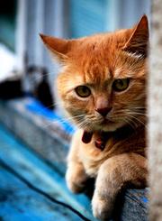 猫咪101:短毛家猫