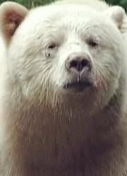 寻找白灵熊
