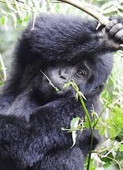 大猩猩最后的目光