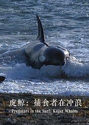 虎鲸:捕食者在冲浪