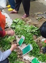 广东农村市场卖木瓜秧,3元一株,你觉得贵吗