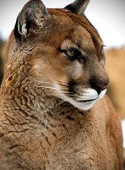 生死关头:潜行的美洲狮
