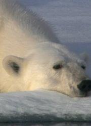 北极熊-冰上侦探