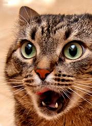 家有恶猫:啃咬怪癖