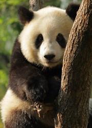 超萌国宝:大熊猫
