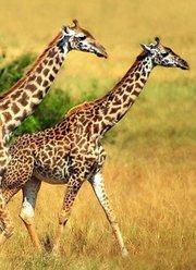 动物世界非洲野性篇