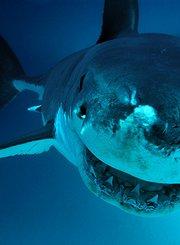 古巴鲨鱼的秘密据点