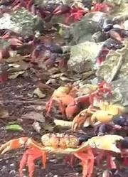 世界最幸福的螃蟹 不仅霸占了一座岛 还有人专门帮助它们过马路