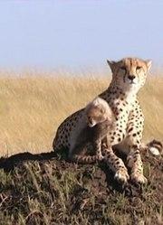 大猫日记之小猎豹杜马