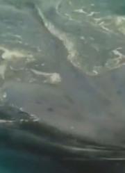 海洋中巨大蓝鲸震撼不