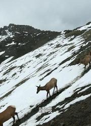 《麋鹿河》| 去往荒芜美丽的黄石公园 探访麋鹿群