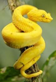 十大致命毒蛇:中美洲